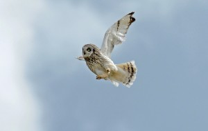 Short Eared Owl Male Arran (5a)